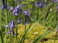 Bluebells (Laura Merwood) Tags: micheldever micheldeverwoods woods forest nature hampshire britain britishisles countryside branches green natural olympus olympuspen olympusepl7 epl7 olympuspenepl7 grass moss bluebells flowers purple blue petals