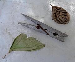 (C. Neil Scott) Tags: westcolumbiasc southcarolina seed clothespin leaf