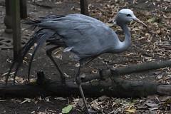 Blue Crane (scv1_2001) Tags: nikon nikon70200mmvrii nikond750 taipeizoo bird animal 台北市立動物園