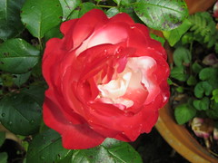 Rose. (daveandlyn1) Tags: rose redwhite foliage depthoffield sx30is powershot canon bridgecamera closeup macro