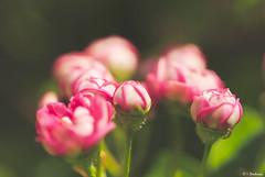 Bouquet printanier (Isabelle Photographies) Tags: bourgeon fleur rose bouquet douceur poétique printemps saison branche