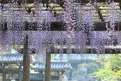 Japanese Wistaria (seiji2012) Tags: wisteria temple purple 藤 藤棚 昭島市 日吉神社 拝島大師 紫