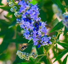 Lilac chastetree (Carl Cohen_Pics) Tags: chandler arizona unitedstates lilacchastetree vitexagnuscastus agnuscastus chasteberry monkspepper hemptree abrahamsbalm maricopa tree desert spring lilac blue bee apian