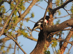 Rose-Breasted Grosbeak (Two Cats Productions) Tags: