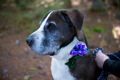 DSC_1345.jpg (tackycactus) Tags: dog adoptdontshop boxer humane society puppy love adopt beautiful cutie family alpena michigan