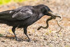 Crow captures snake (mjeedelbr) Tags: crow snake
