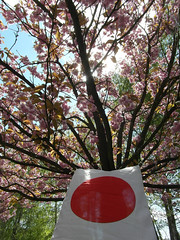 Hanami (gerlindes) Tags: teltow potsdammittelmark landkreisteltowfläming kirschblütenfest japanischeskirschblütenfest hanami kirschbäune zierkirschen kirschblüteninvollerpracht