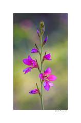Gladiolus Segetum (g.femenias) Tags: gladiolussegetum gladiolusitalicum gladiolus lliridelsblats espadella herbadespasa flower nature bokeh sescoves santaeugènia mallorca macro