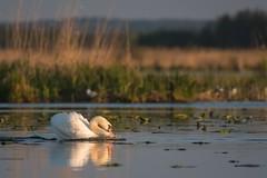 Mute swan (Cygnus olor) (tomaszberlin) Tags: goldenhour birdwatcher olor cygnus mute swan bwg bokeh bokehoftheday wildlife poland druzno lake nikon d500 nikkor3004vr water bird waterfowl action chasing