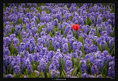 Red on Blue (Ilan Shacham) Tags: flowers tulip one solo field beauty nature scenic blue red netherlands holland fineart fineartphotography