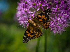 Painted Lady and Allium (Explore, May 17) (Mildred Alpern) Tags: butterfly allium flower plant outdoors macro garden paintedlady