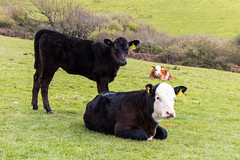 Three calves on a hillside (Keith in Exeter) Tags: calf calves cow bovine animal livestock young farm field grass hedge hill tagged dorset coastal footpath outdoor england