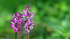 Early Purple Orchid (jaytee27) Tags: earlypurpleorchid orchismascula naturethroughthelens hbw