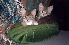 Ika Tako in Early Days (meg williams2009) Tags: cats pets animals cutecats funnycats beautifulcats feline kittens kitten filmpicture