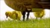 "petit de l'outarde ""outardeau"" .. (Dare2drm) Tags: outardeau goose bernache outarde wetgrass pluie geese waterdrops droplets gouttelettes djfotos"