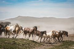wild horses16-6897 (Jami Bollschweiler Photography) Tags: wild horse running fighting wildlife photography west desert onaqui herd utah great basin