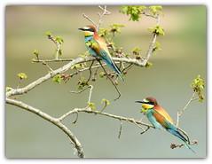 Guêpier d'europe (guiguid45) Tags: nature sauvage oiseaux bird loire loiret d810 nikon 500mmf4 guêpierdeurope meropsapiaster europeanbeeeater affût coraciiformes méropidé