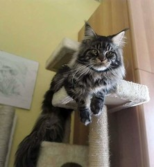Maine coon cat (romeosilverpersian) Tags: mainecoon scratchingpost pets cats browntabby catbreeds purebredcats longhairedcats animalidomestici