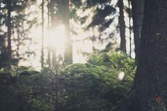 In der Sächsischen Schweiz (clearfotografie) Tags: fujixt2 fujinionxf55200mm wald tree licht sonne soft nature natur flat pflanzen outdoor drausen