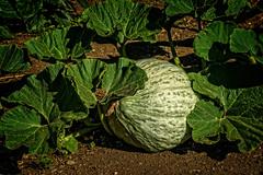 Squash (DL Photo) Tags: garden vancouver historicalsites ftvancouvernationalhistoricalsite washington flora squash fortvancouver