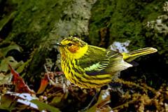 Central Park: Cape May Warbler 1 (donna lynn) Tags: 2017 birds birding wildlife nature outdoors spring may capemaywarbler setophagatigrina centralpark newyorkcity nyc