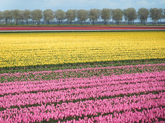 Tulip fields (EvelienNL) Tags: flower flowers tulip tulips field flowerfield flowerbed bulbfield bloemen tulpen bloemenveld bloemenvelden tulpenveld tulpenvelden bollenveld bollenvelden pink yellow roze geel gele colourful countryside rural landscape landschap trees bomenrij bomen line row dutch holland netherlands flevoland flevopolder