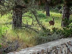 IMG_3219.jpg (Darren and Brad) Tags: pacificgrove asilomarstatebeach deer montereycounty california asilomar asilomarconferencegrounds unitedstates us