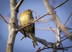 Gulsparv - Yellowhammer - Emberiza citrinella (Peter Dahlgren) Tags: animal bird bluesky branch djur emberizacitrinella europe feathering feathers gren gul gulsparv natur nature spring sweden vingar wings yellow yellowhammer blå fjäderdräkt fjädrar fågel fåglar vår