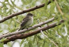 Willow Flycatcher (swmartz) Tags: birds outdoors mercercounty nikon nature newjersey flycatcher