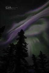 _64A1726 (Ed Boudreau) Tags: alaska northernlights auroraborealis nightphotography nightsky stars aurora winter winterscene winterscape landscape alaskalandscape landscapephotography auroratrapperscreek petersvillerd auroracolors