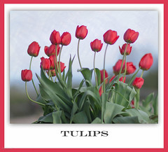Tulips (bonnie5378) Tags: flowers tulips may2017 mygarden naturescarousel magicunicornverybest