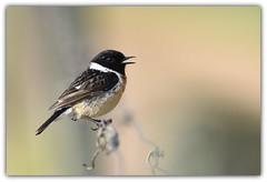 sur le fil (guiguid45) Tags: nature sauvage oiseaux bird passereaux vignes loiret d810 nikon 500mmf4 tarierpâtre stonechat saxicolatorquatus affût