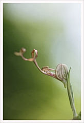 Fiore 226 (Outlaw Pete 65) Tags: macro closeup fiore flower orchidea orchid natura nature colori colours luce light nikond600 sigma105mm collebeato lombardia italia