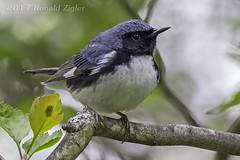 Black-throated Blue Warbler  IMG_9119 (ronzigler) Tags: blackthroated blue warbler songbird avian nature bird birdwatcher canon 60d sigma 150600mm