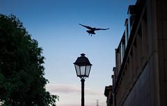 the Crow (::Lens a Lot::) Tags: leitz canada summicronr ii 50mm f2 1977   6 blades iris leica r paris 2017