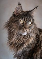 Lisa portrait (Ignacio Ferre) Tags: lysa gato cat felino felidae felid felines feliscatus felids mammal mamífero portrait retrato lynx lince lumix panasonic lisa lx100 ngc