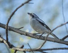 Loggerhead Shrike_A_TG_L519202_W (llew42) Tags: mercednwr sanlusnwrcomplex birds perching shrikes