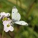 Female Orange Tip Butterfly on a Cuckoo Flower