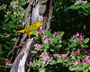 male yellow warbler (k. kohler) Tags: bader