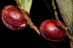 Terminalia porphyrocarpa (andreas lambrianides) Tags: terminaliaporphyrocarpacombretaceaebandicootplumterminaliathozetiimyrobalanusporphyrocarpaaustralianfloraaustraliannativeplantaustralianrainforestsaustralianrainforesttreesqrfpmaroonarffsarffsdryarf australianrainforestfruitsandseeds australianrainforestseeds australianrainforestfruits