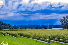 Blueberry fields and clouds, blue, Mossyrock (Washington State Department of Agriculture) Tags: scenic blossoms blueberries farm field fruit spring