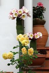 IMG_5657 (mauro muscas) Tags: fiore rosa ibiscus cactacee succulente trichocereus schickendantzii