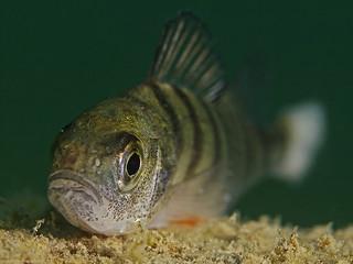 Perch, Flussbarsch (Perca fluviatilis)