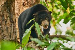 BOR_8576 (lucvanderbiest) Tags: sunbear maleisebeerofhoningbeer borneo maleisië sabah sepilok sunbearconservationcenter