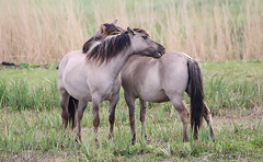 Konik Horses 1 (saundersfay) Tags: konikhorses