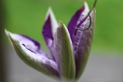 2017-0517-New clematis 010 (Sally Anderson1) Tags: purple clematis blossoms dreamy unfolding