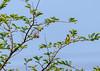 Sunbird - preening & foraging (siddharthx) Tags: hyderabad telangana india in sunbird feeding foraging preening nature birdsofindia canon7dmkii hyderabadbirds ef100400mmf4556lisiiusm birdsoftelangana birdonabranch hyderabadlakes habitat himayatsagar beautifulmorning goodlight