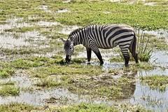 Kilimanjaro's Gift to Wildlife (The Spirit of the World) Tags: zebra animal stripes water reflections puddles greenseason kenya plains grasslands africa eastafrica wildlife nature gamereserve nationalpark safari