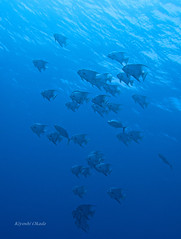 A school of spadefish (kyshokada) Tags: spadefish underwater scuba diving roatan honduras caribbean canon powershot g7x animalplanet reef