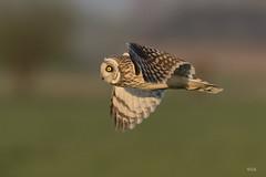 _LAR3771-3 (Larissa Rand) Tags: 2017 lithoijen natuur nikon500mmf4efledvr nikond750 velduil boirds vogels
